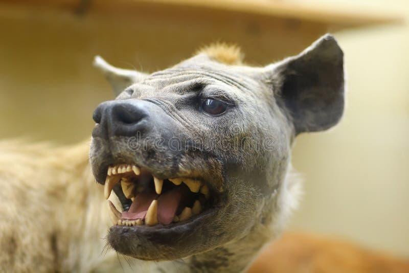 Sluit omhoog van wilde boze gebrul het grijnzen het lachen hyena, gevuld dier stock afbeeldingen