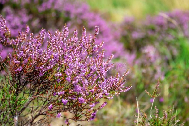 Sluit omhoog van wilde roze heidebloemen, Dartmoor het UK stock afbeeldingen