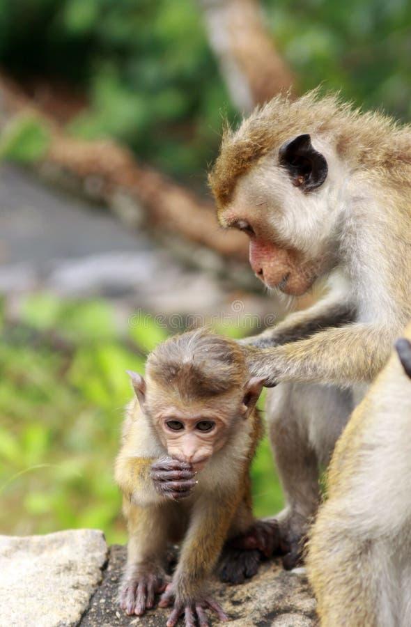 Sluit omhoog van wilde toque macaque sinicamoeder die van Macaca babyaap ontluizen stock fotografie