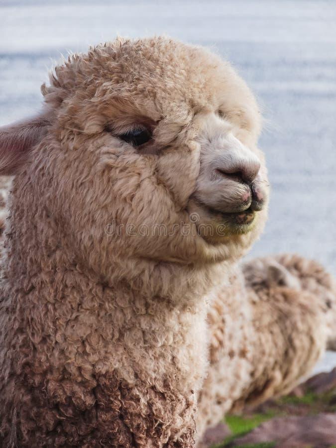 Sluit omhoog van witte alpaca kijkend vooruit recht royalty-vrije stock fotografie