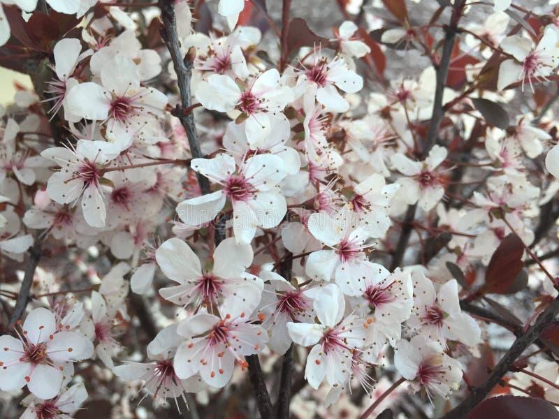 Sluit omhoog van witte en rode bloemen die op struik bloeien stock foto
