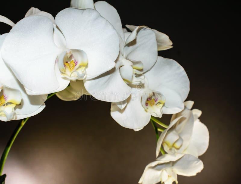 Sluit omhoog van witte orchideenevel van bloesems op een stevige zwarte achtergrond met gele en purpere keel stock afbeelding