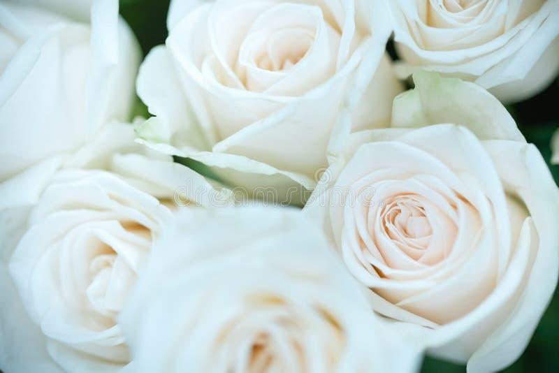 Sluit omhoog van witte schoonheid toenam en vertroebelde groen blad Gebruikend als natuurlijke installaties als achtergrond lands royalty-vrije stock afbeelding