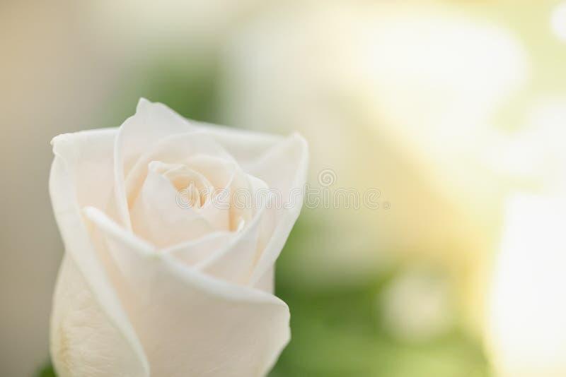 Sluit omhoog van witte schoonheid toenam en vertroebelde groen blad met exemplaarruimte voor tekst stock fotografie