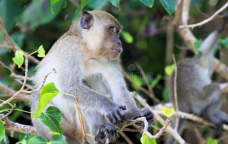 Sluit omhoog van zandige krab die fascicularis met lange staart van Macaque eten Macaca zittend in een boom stock afbeelding