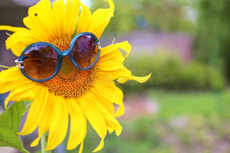 Sluit omhoog van zonnebloem met zonnebril stock afbeelding