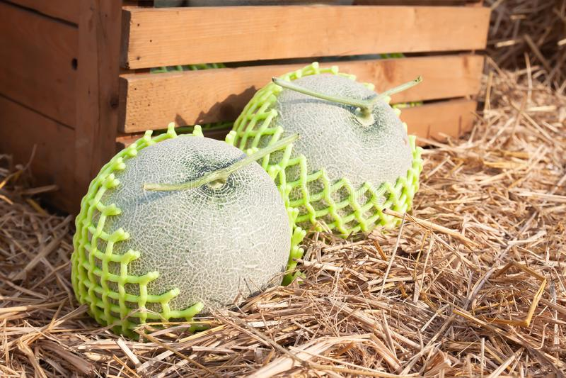 Sluit omhoog verse meloenen met gesteunde netto op stro stock foto's