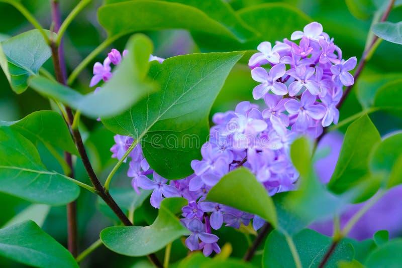 Sluit omhoog violette lilac struik royalty-vrije stock afbeeldingen