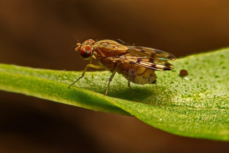 Sluit omhoog vliegfruitvliegje melanogaster in aard stock foto