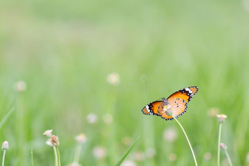 Sluit omhoog vlinder op bloem Coatbuttons Mexicaanse Daisy monarch stock foto's
