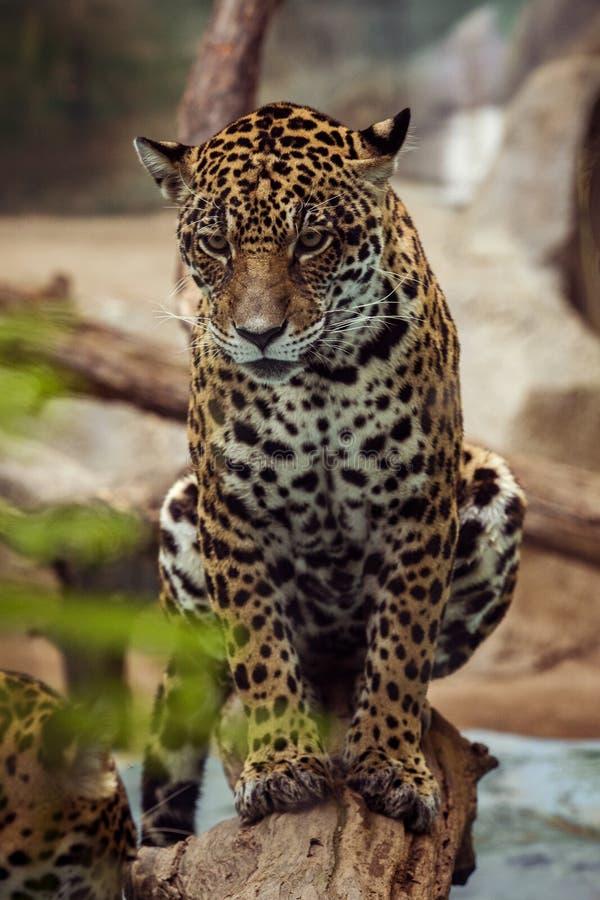 Sluit omhoog volledig lichaam van luipaard, panthera die ogencontact kijken royalty-vrije stock afbeeldingen