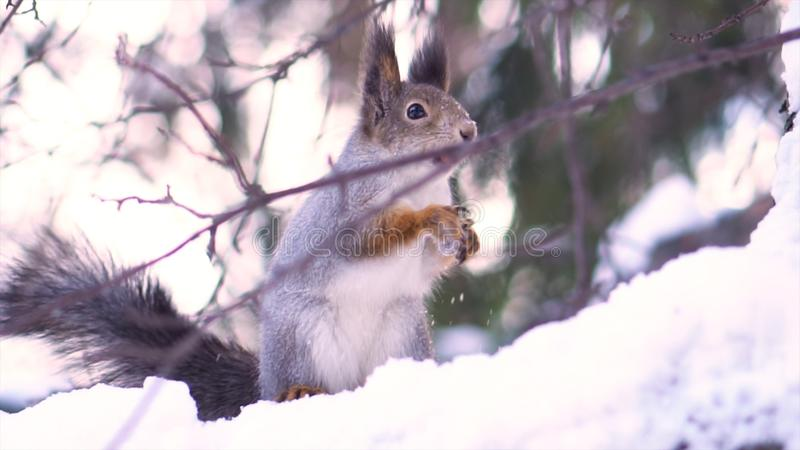 Sluit omhoog voor leuke, grijze eekhoorn met een noot in haar mond op een sneeuwboomtak in de winter Eekhoornzitting op sneeuw stock foto