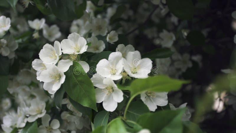 Sluit omhoog voor rabappleboom in volledige bloei in het stadspark Voorraadlengte Mooie witte bloemen van een appelboom royalty-vrije stock afbeelding