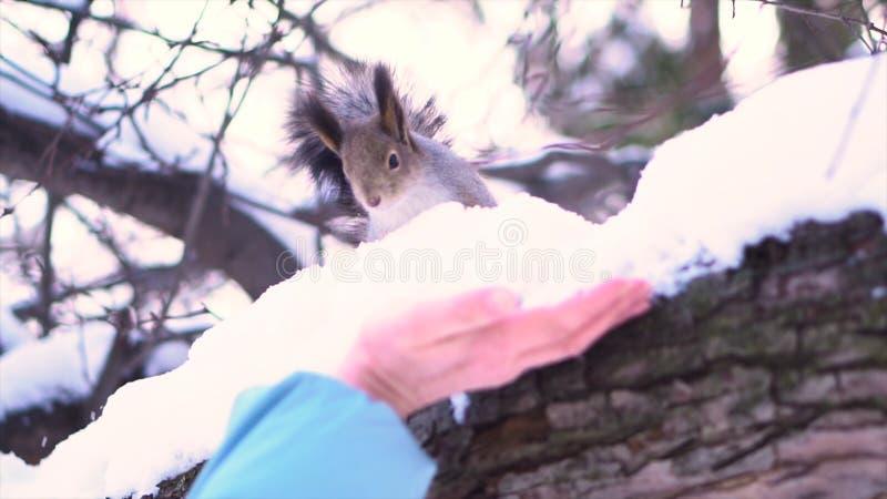 Sluit omhoog want de grijze eekhoorn bij het sneeuwtak hasitating aan benadering van vrouw een de winterpark indient Mooie grijze stock afbeeldingen