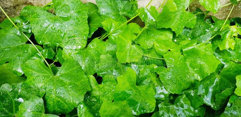 Sluit omhoog waterdaling op klimoppompoen of groene bladeren na regenachtige dag stock foto