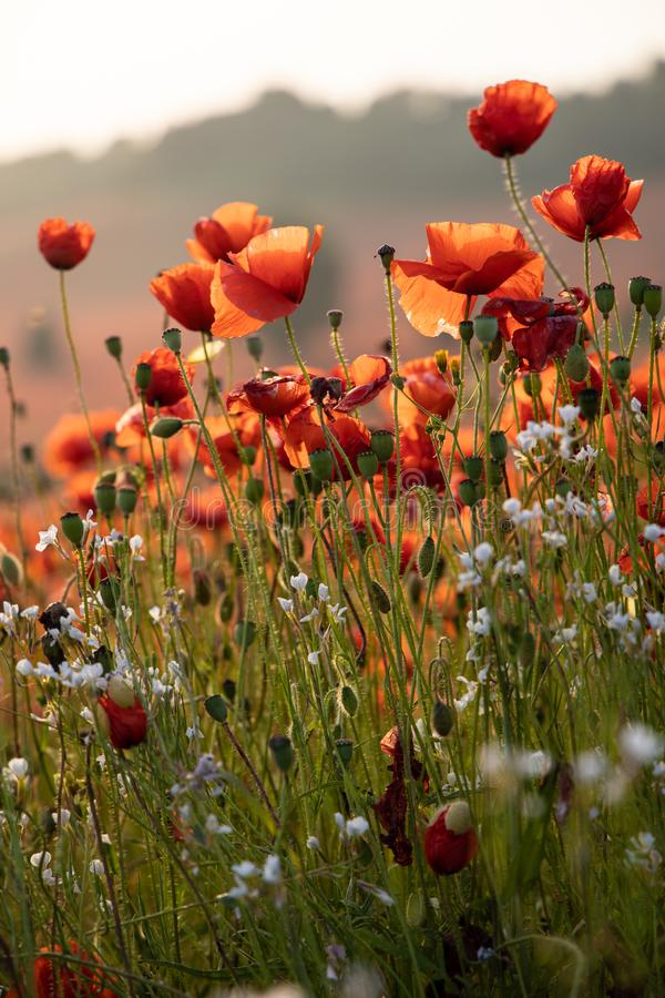 Sluit omhoog Weergeven van Poppy Flowers in Dawn stock fotografie