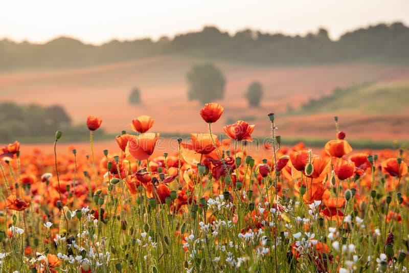 Sluit omhoog Weergeven van Poppy Flowers in Dawn royalty-vrije stock afbeeldingen