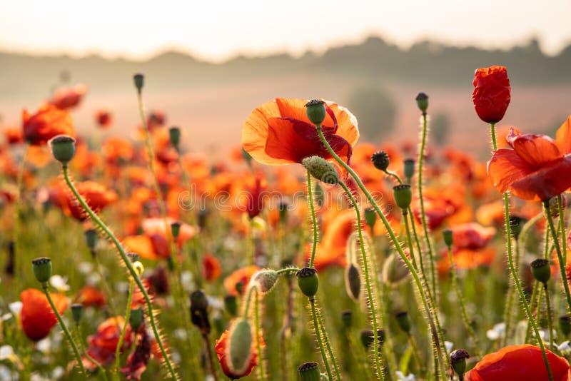 Sluit omhoog Weergeven van Poppy Flowers in Dawn royalty-vrije stock foto's