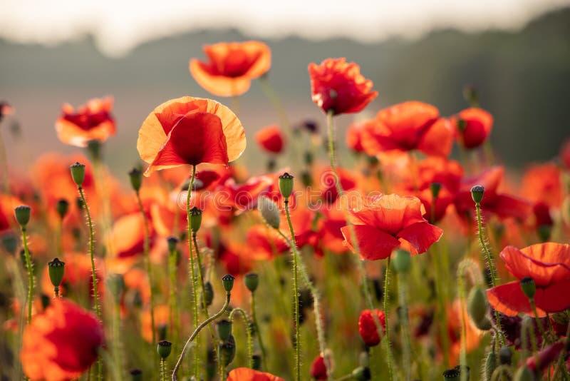 Sluit omhoog Weergeven van Poppy Flowers in Dawn royalty-vrije stock afbeelding