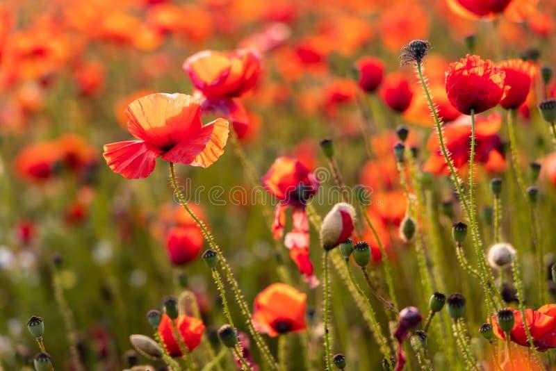 Sluit omhoog Weergeven van Poppy Flowers in Dawn stock foto