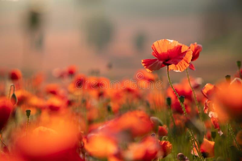 Sluit omhoog Weergeven van Poppy Flowers in Dawn stock afbeeldingen