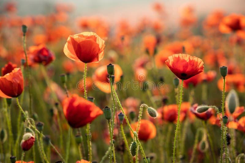 Sluit omhoog Weergeven van Poppy Flowers in Dawn stock afbeelding
