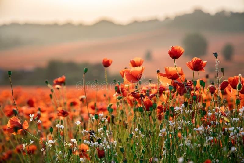 Sluit omhoog Weergeven van Poppy Flowers in Dawn stock foto's