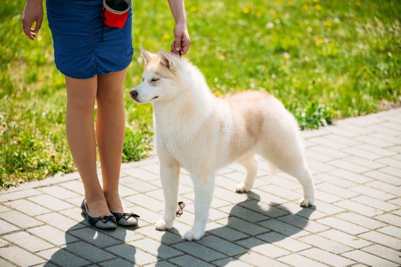 Sluit omhoog Wit en Rood Husky Puppy Eskimo Dog stock foto