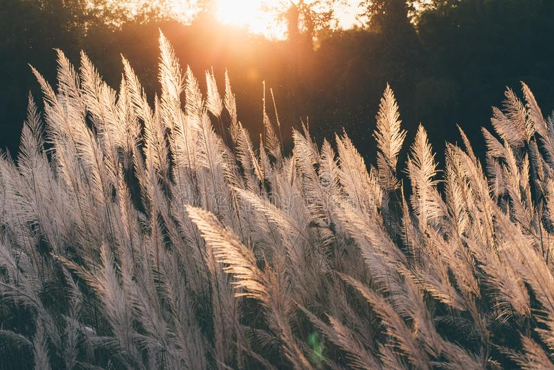 Sluit omhoog Witte bloem op gebied met zonsopgangachtergrond stock foto's