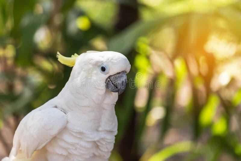 Sluit omhoog witte galerita van zwavel kuifcockatoocacatua royalty-vrije stock foto's