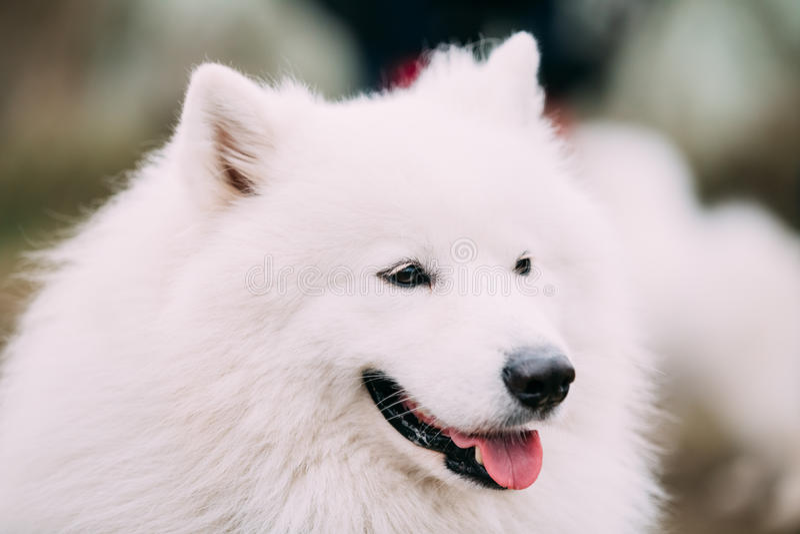 Sluit omhoog Witte Samoyed-Hond stock fotografie