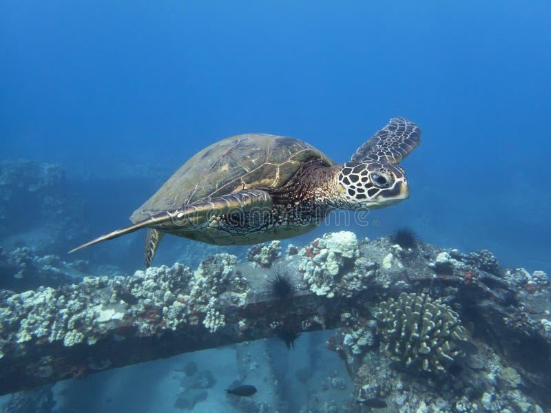 Sluit omhoog Zeeschildpad die in Blauw Oceaanwater over Ertsader zwemmen stock afbeeldingen