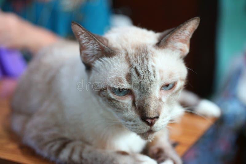 Sluit omhoog, zie, neus, blauwe ogen, leuke Aziatische grote katten onder ogen, stock foto