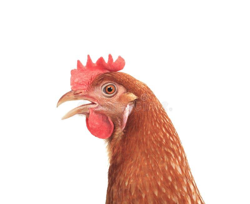 Sluit omhoog zijaanzicht van mooie bruine vrouwelijke kippenkip isoleren stock fotografie