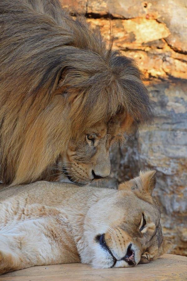 Sluit omhoog zijportret van leeuw en leeuwin royalty-vrije stock foto