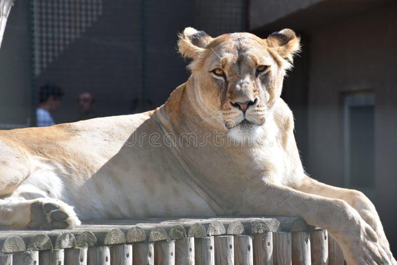 Sluit omhoog zijportret van vrouwelijke Afrikaanse leeuwin royalty-vrije stock afbeeldingen