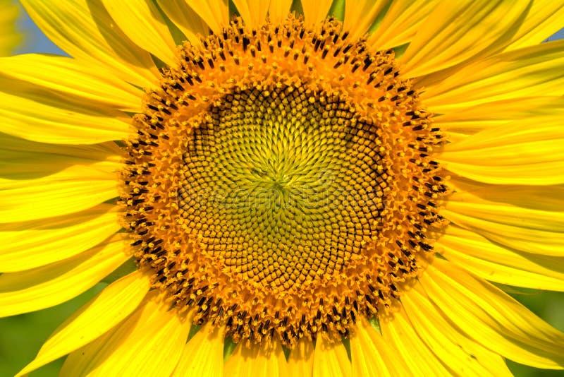 Sluit omhoog zonnebloem stock foto