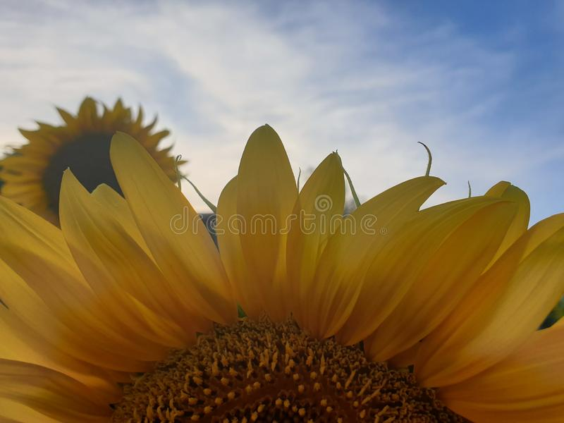 Sluit omhoog zonnebloem royalty-vrije stock afbeelding