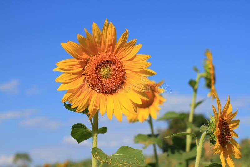 Sluit omhoog zonnebloem op blauwe hemel royalty-vrije stock foto