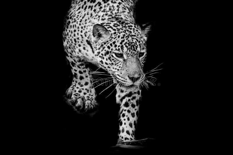 Sluit omhoog zwart-wit Jaguar-Portret stock afbeelding