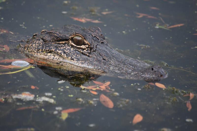 Sluit onderzoeken omhoog de Ogen van een Alligator royalty-vrije stock afbeeldingen
