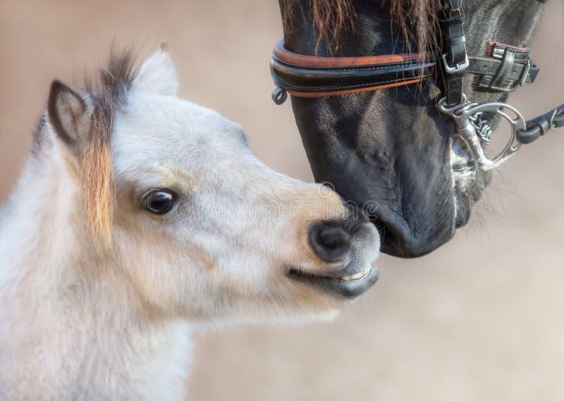 Sluit portret omhoog groot $c-andalusisch paard en miniatuurpaard royalty-vrije stock fotografie