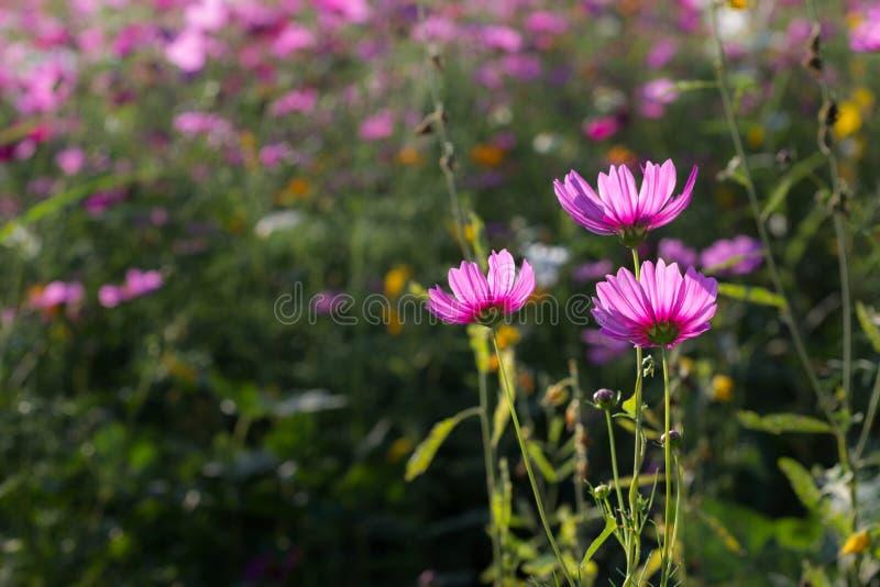 Sluit roze bloem van de achterkant omhoog de bloeiende kosmos stock afbeeldingen