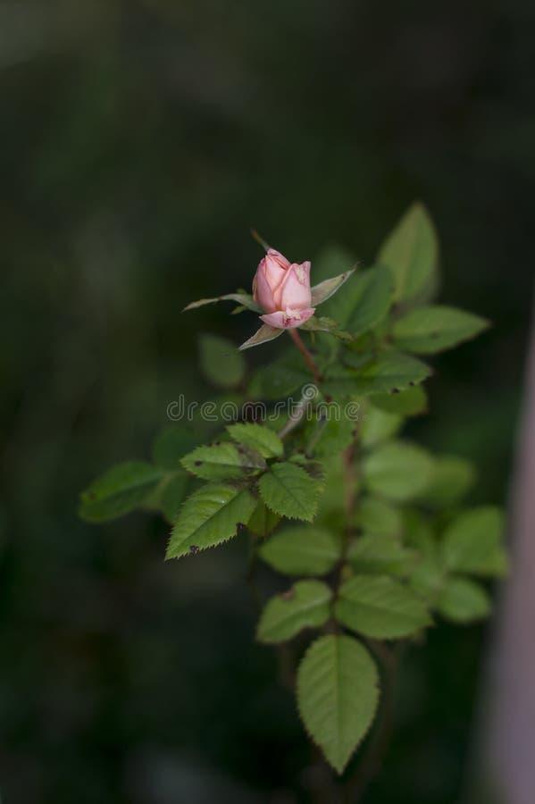 Sluit roze steeg knop royalty-vrije stock foto's
