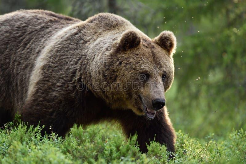 Sluit schot van grote mannelijke bruin dragen stock foto