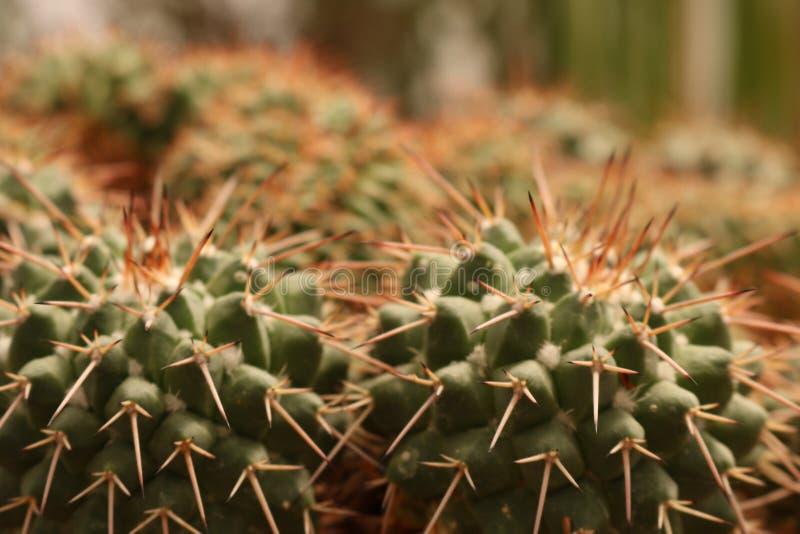 Sluit tot een stekelige cactus stock foto's