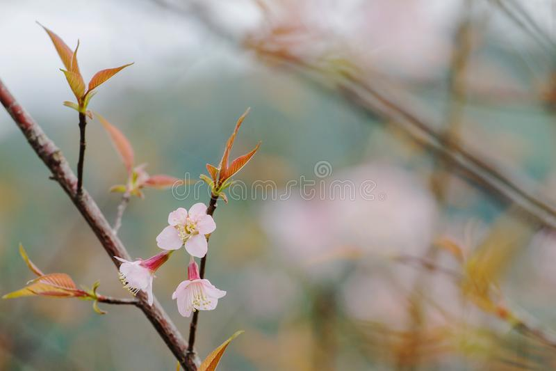 Sluit van de de bloembloei van Prunus cerasoides de aard omhoog mooie achtergrond royalty-vrije stock foto