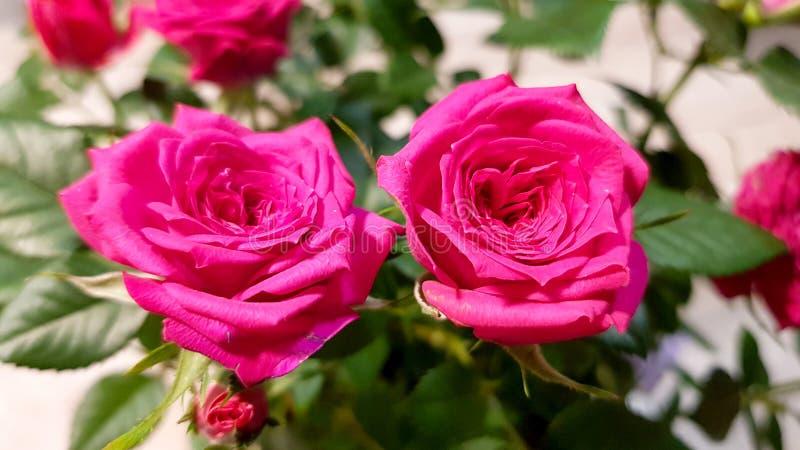 Sluit van de tot bloei gekomen rode lente steeg stock afbeeldingen