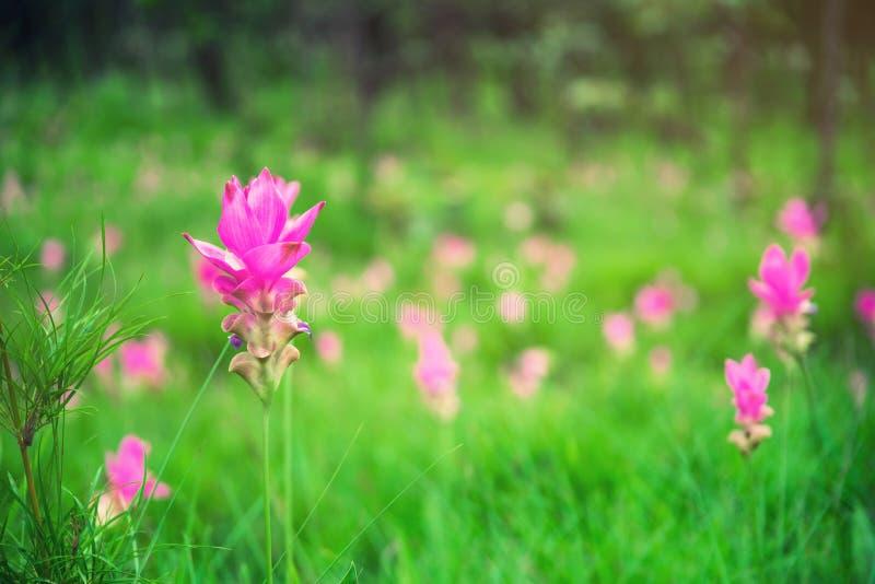 Sluit van de de tulpenbloem van Siam omhoog de bloem van Thailand Krachai stock fotografie