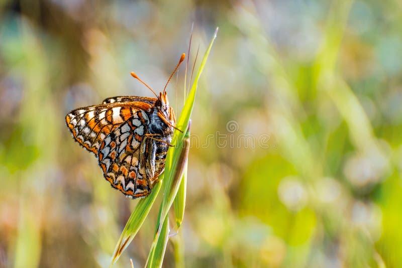 Sluit van de vlinder van Baaicheckerspot omhoog bayensis van Euphydryas Editha; geclassificeerd als federaal bedreigde species, z royalty-vrije stock afbeeldingen